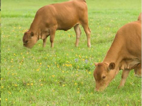 Cows grazing on a farm in a Louisiana watershed.