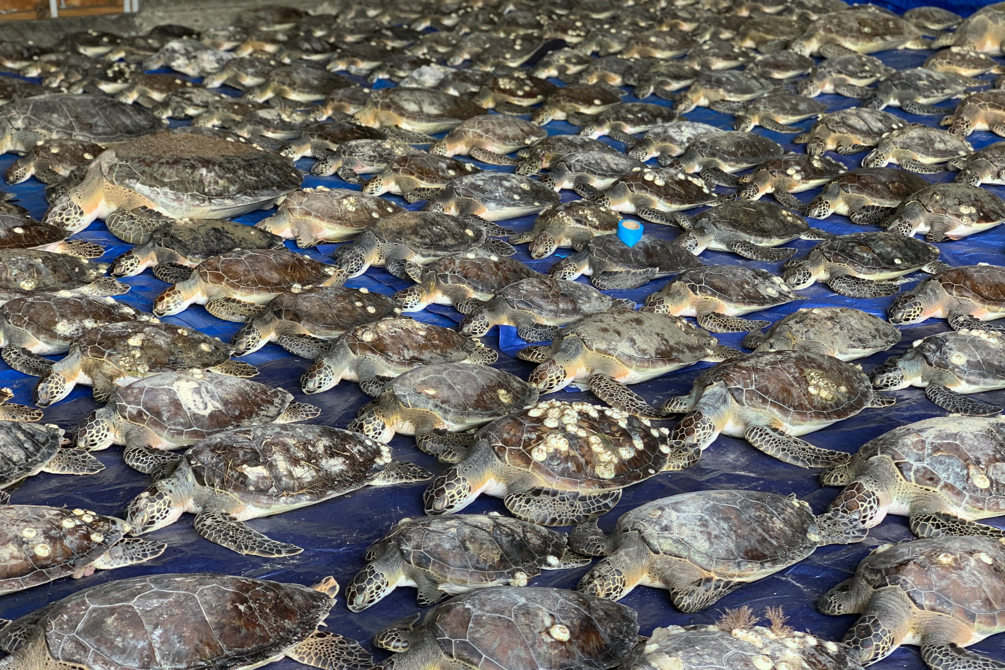 Hundreds of sea turtles on the floor of the South Padre Island Convention Centre