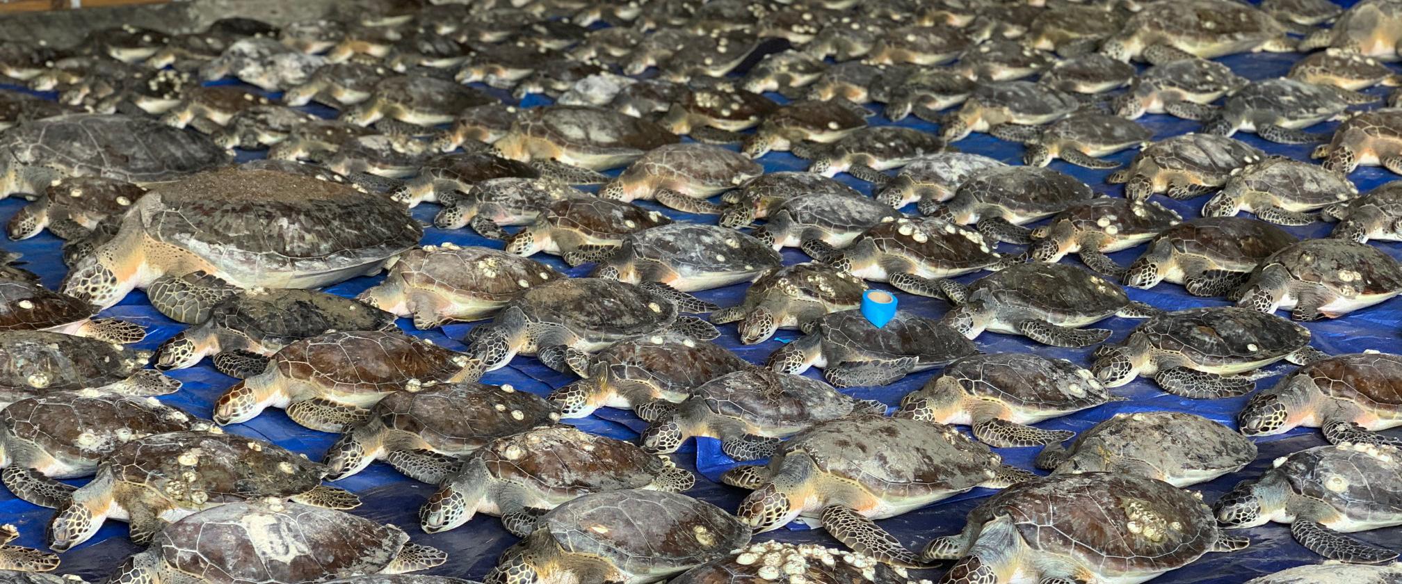 Deepwater Horizon Funding Helps Save Sea Turtles in Texas