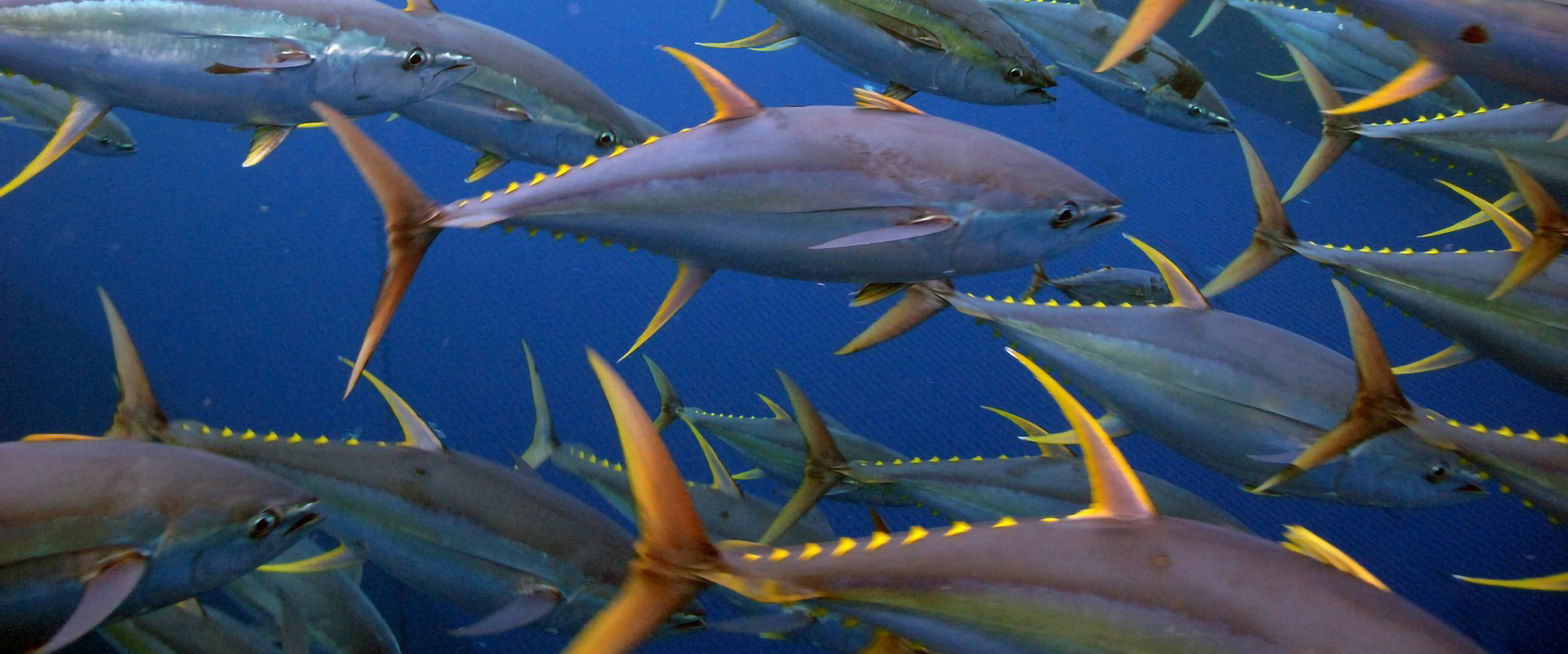 Submit a Quote: Gulf Pelagic Longliners Can Help Restore Fish Impacted by Deepwater Horizon