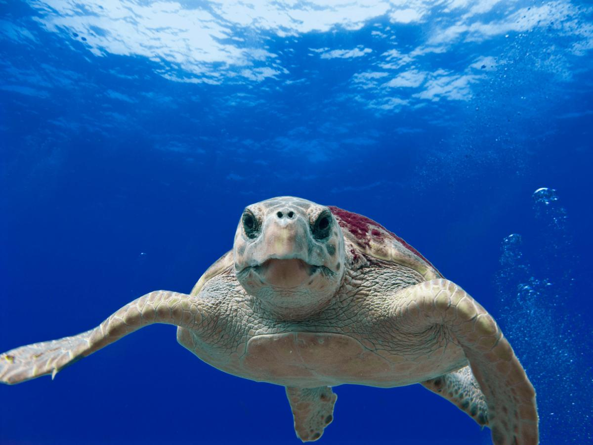 Sea Turtle in the Gulf of Mexico