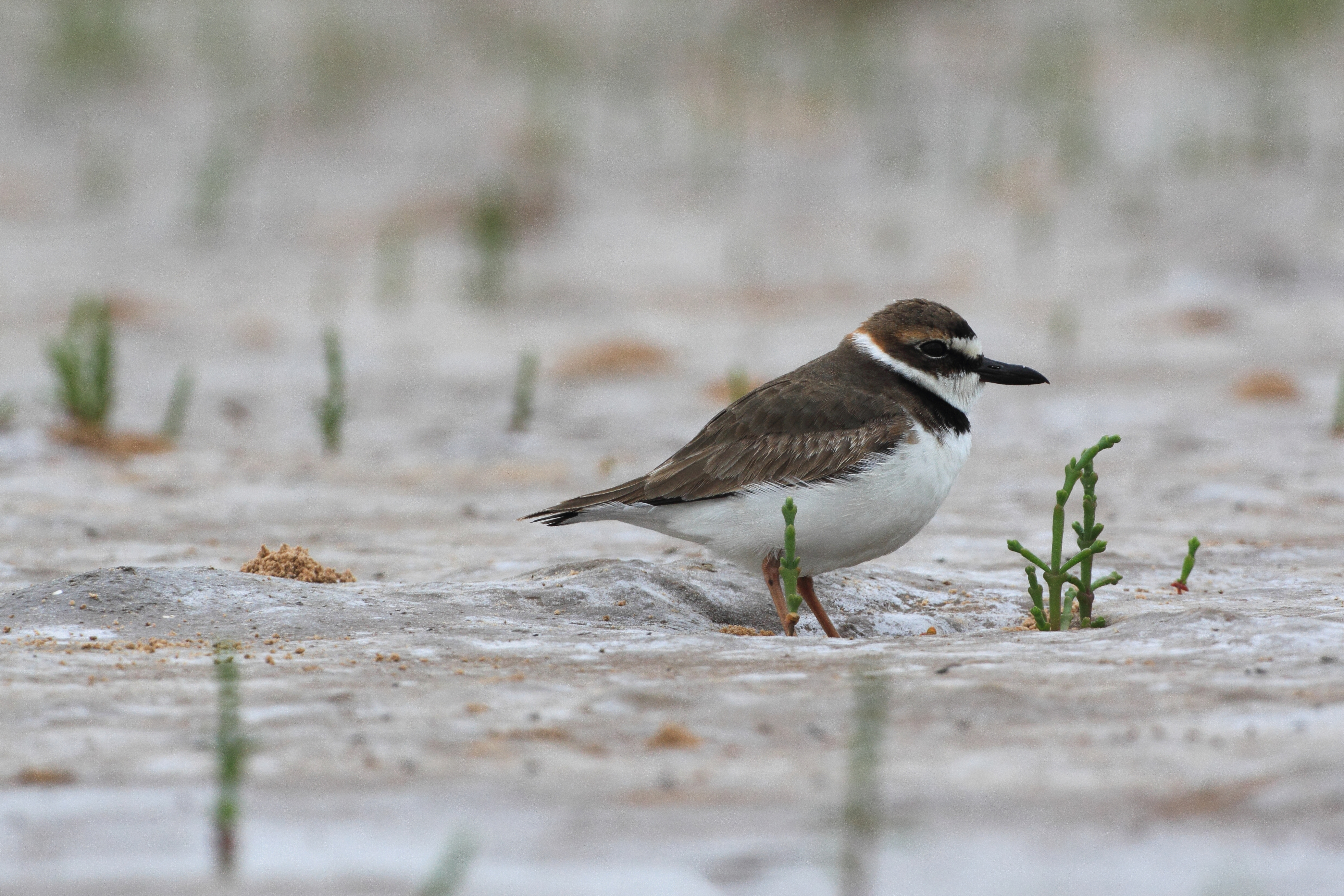 A Wilson's Plover stands on a sandy beach in Alabama.