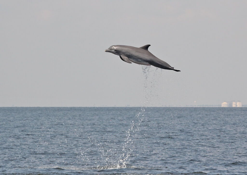 A bottlenose dolphin leaps out of the water in the Gulf of Mexico.