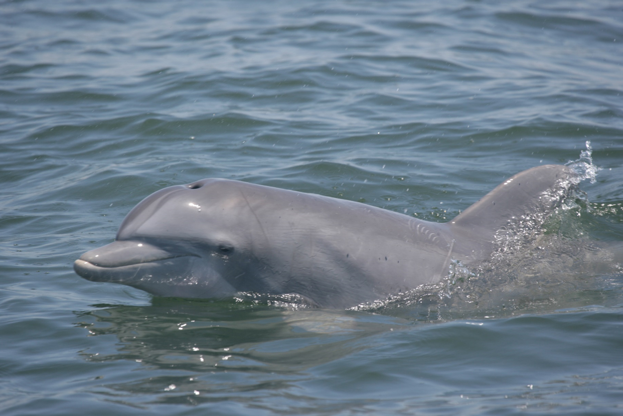 Dolphin at the water's surface. Image: NOAA MMPA Permit No 14450