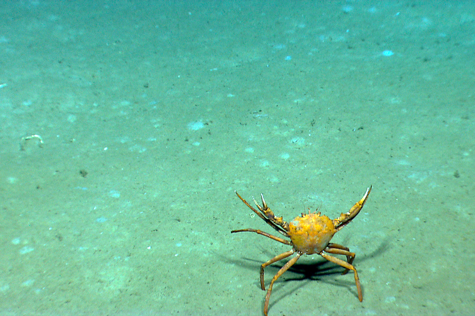 A golden crab, Chaceon fenneri, seen on a deep-sea exploration of the Gulf of Mexico 2014