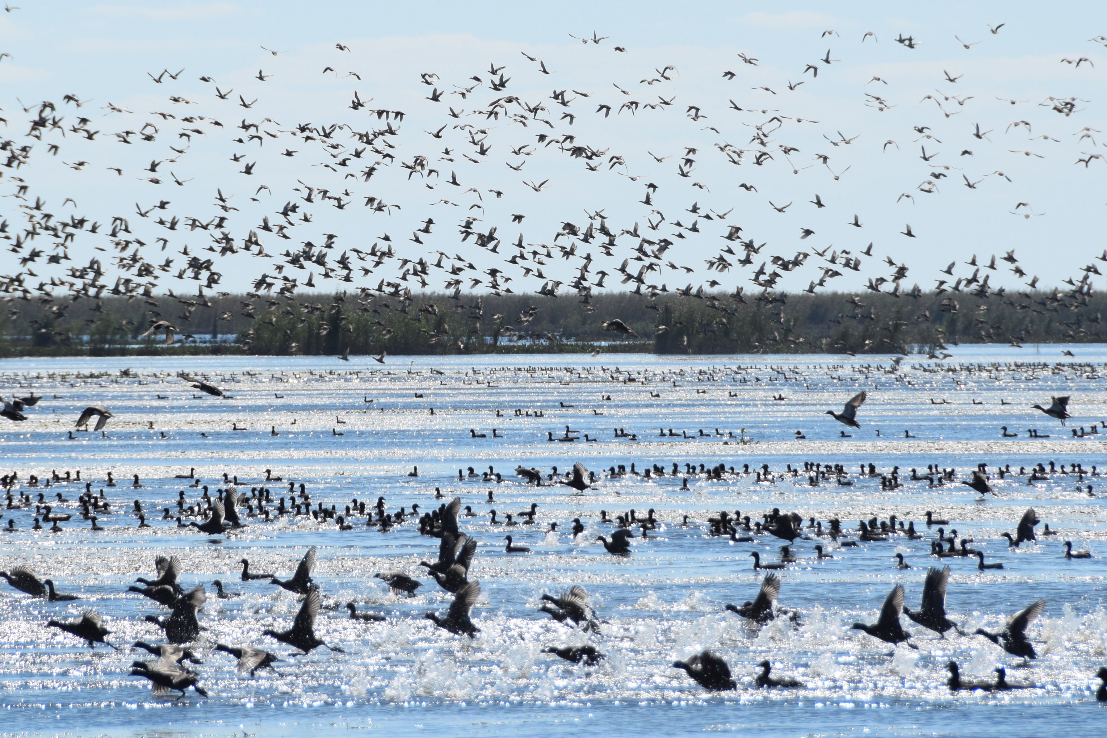 A large flock of waterbirds take off above open water in Louisiana.