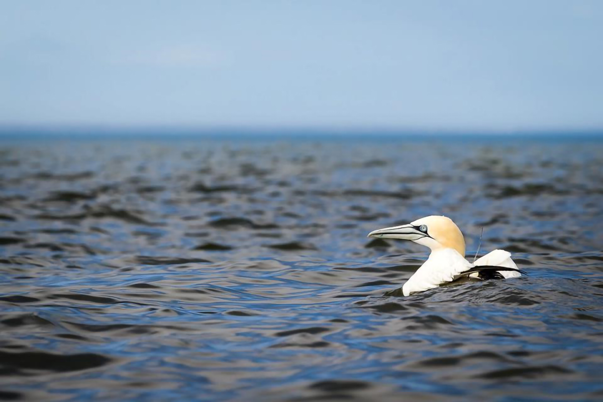 A northern gannet floats on the water.