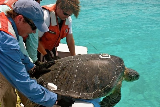 Scientists releasing a sea turtle tagged with a tracking device.