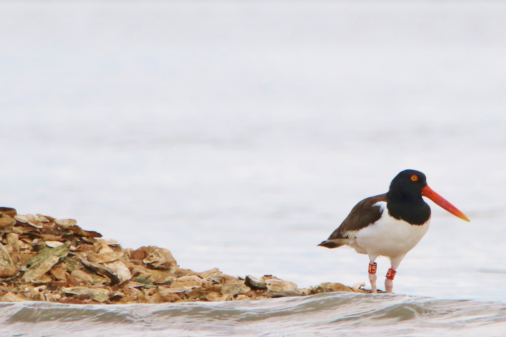 An American oystercatcher stands on the edges of an oyster reef.