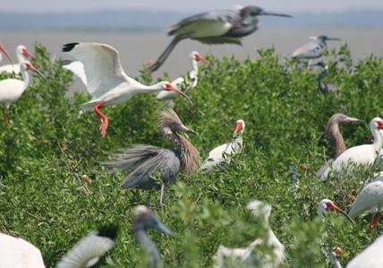 wading birds on the Alabama coast