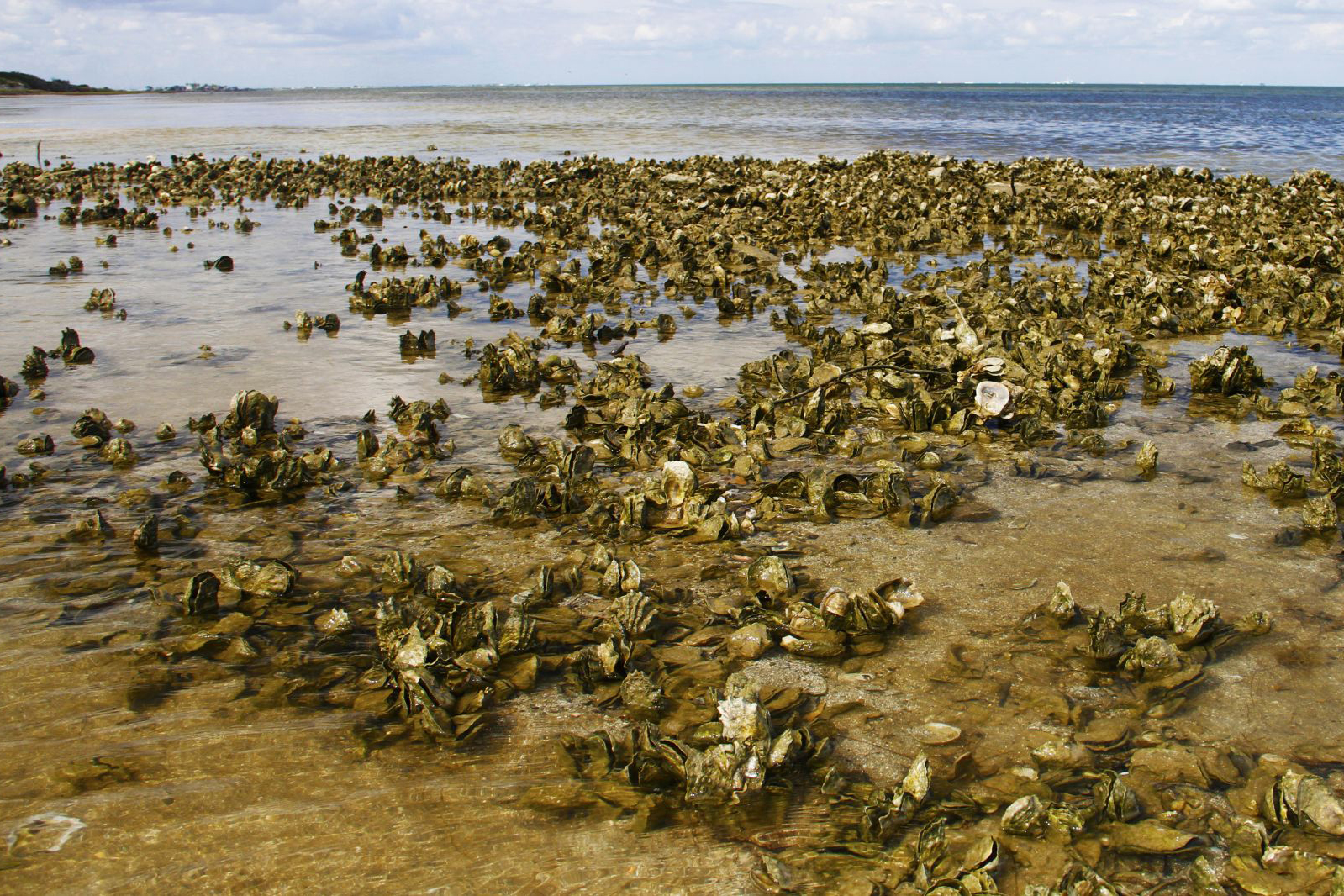 Oysters line the Gulf of Mexico shore.