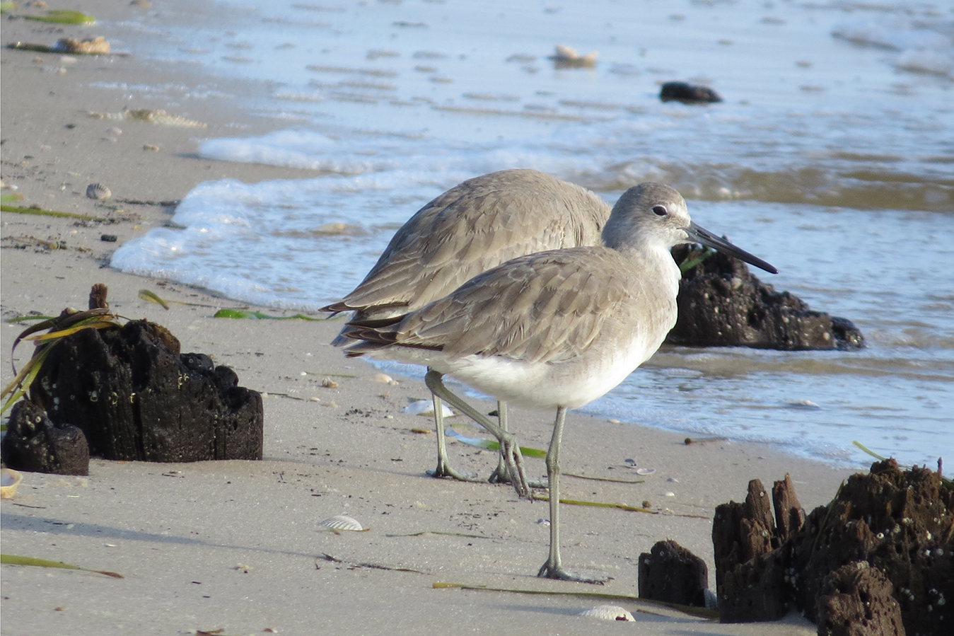 Two eastern willets (birds) on a Florida Beach. Image Florida Fish and Wildlife