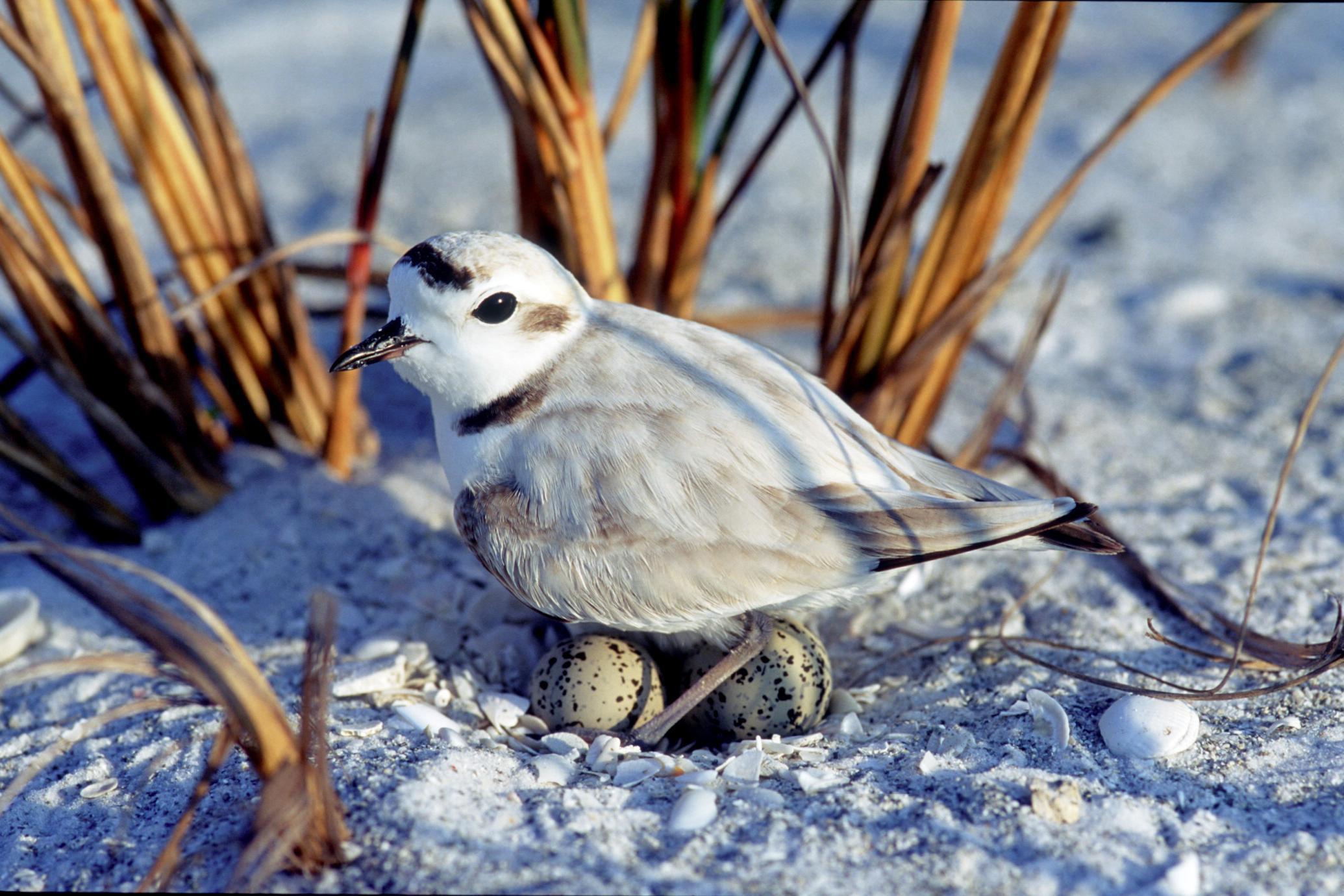 Snowy plover nesting on beach habitat.