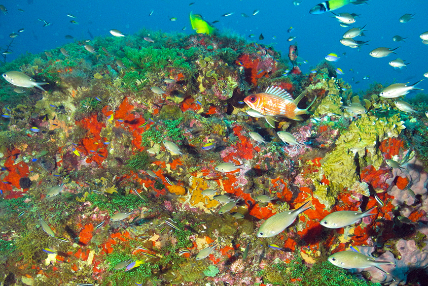 Colorful coral reef at 35 meters of depth in Flower Garden Banks National Marine Sanctuary. Image: NOAA NMS