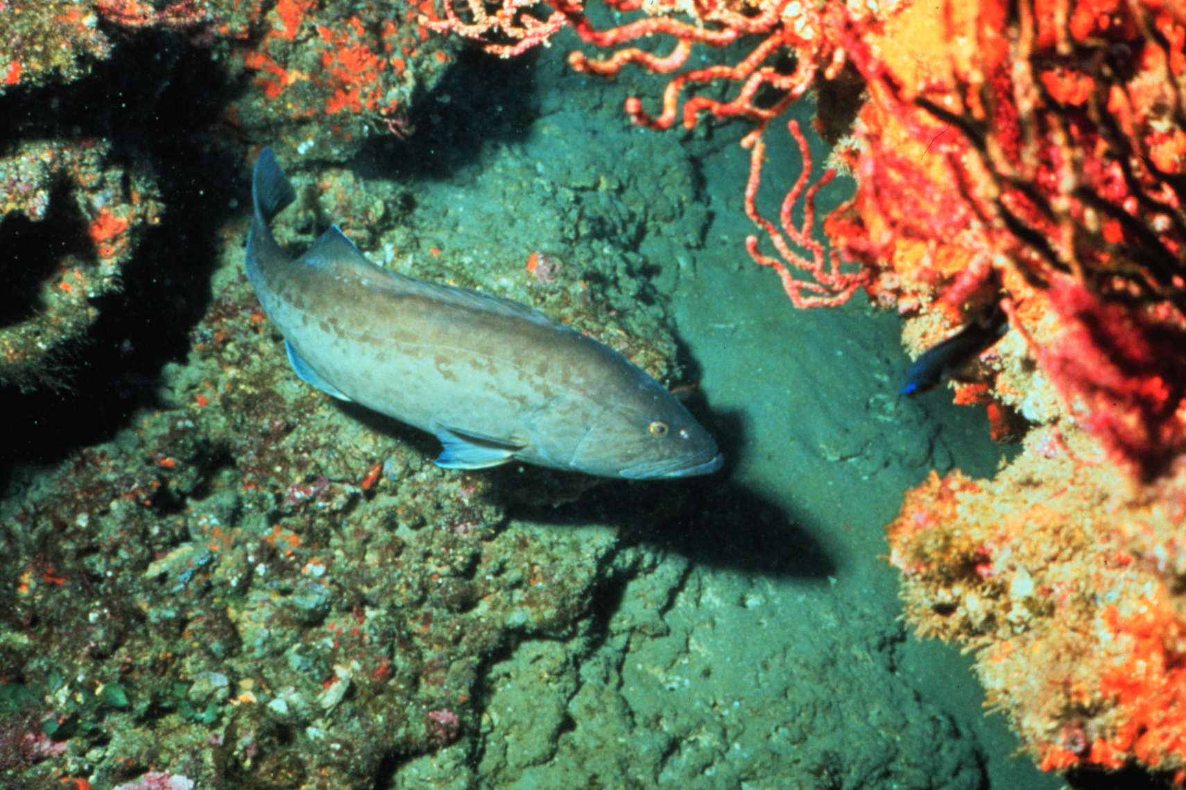 A gag grouper (fish) swims near a rocky reef with pink corals nearby.