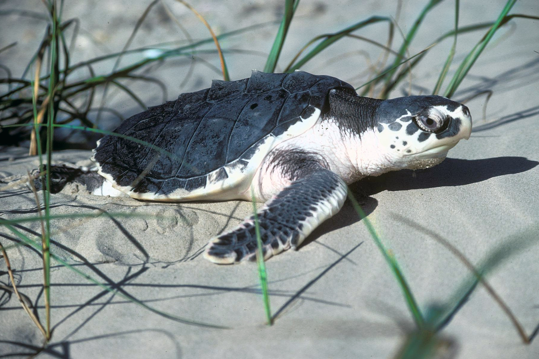 A Kemps Ridley sea turtle on the sand of a Texas beach, surrounded by grass. Image: EPA