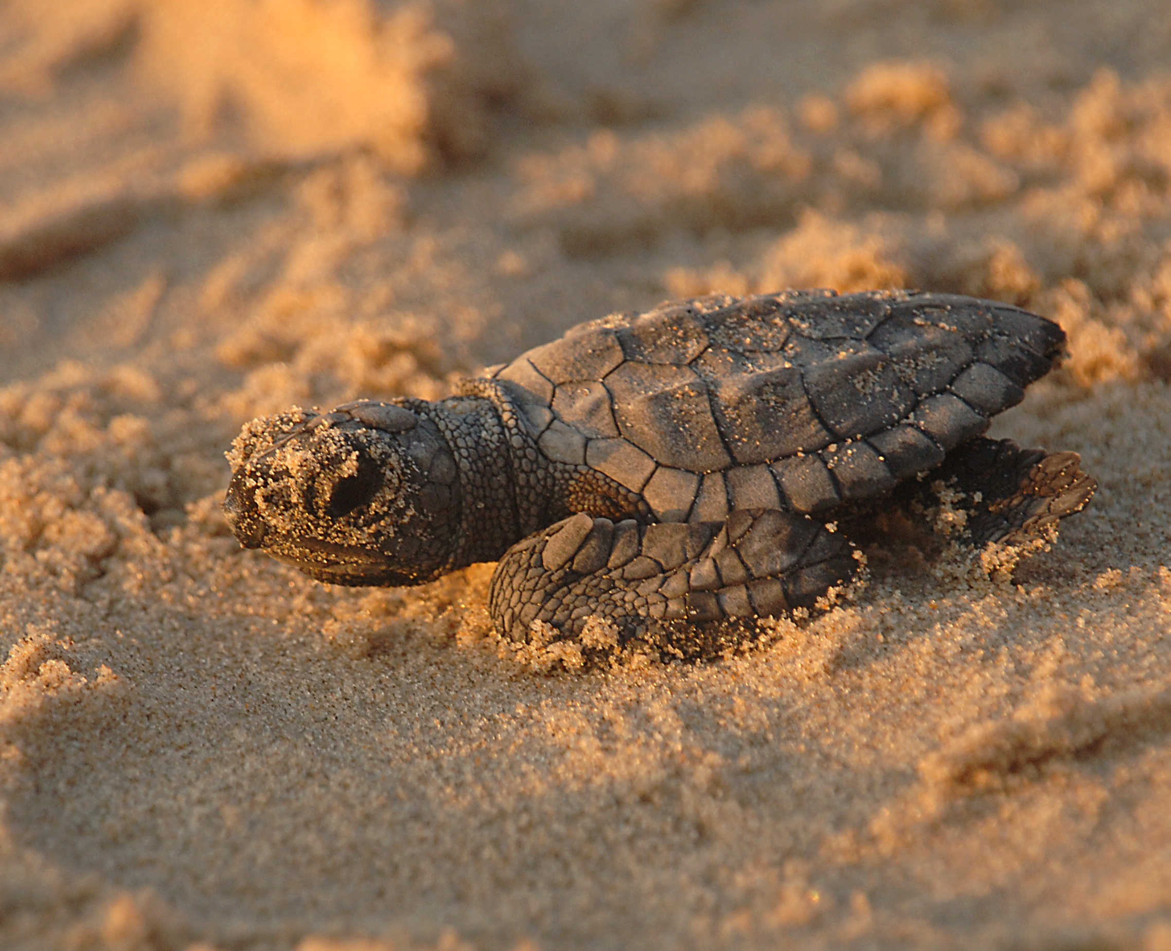 Kemp's Ridley Sea turtle hatchling