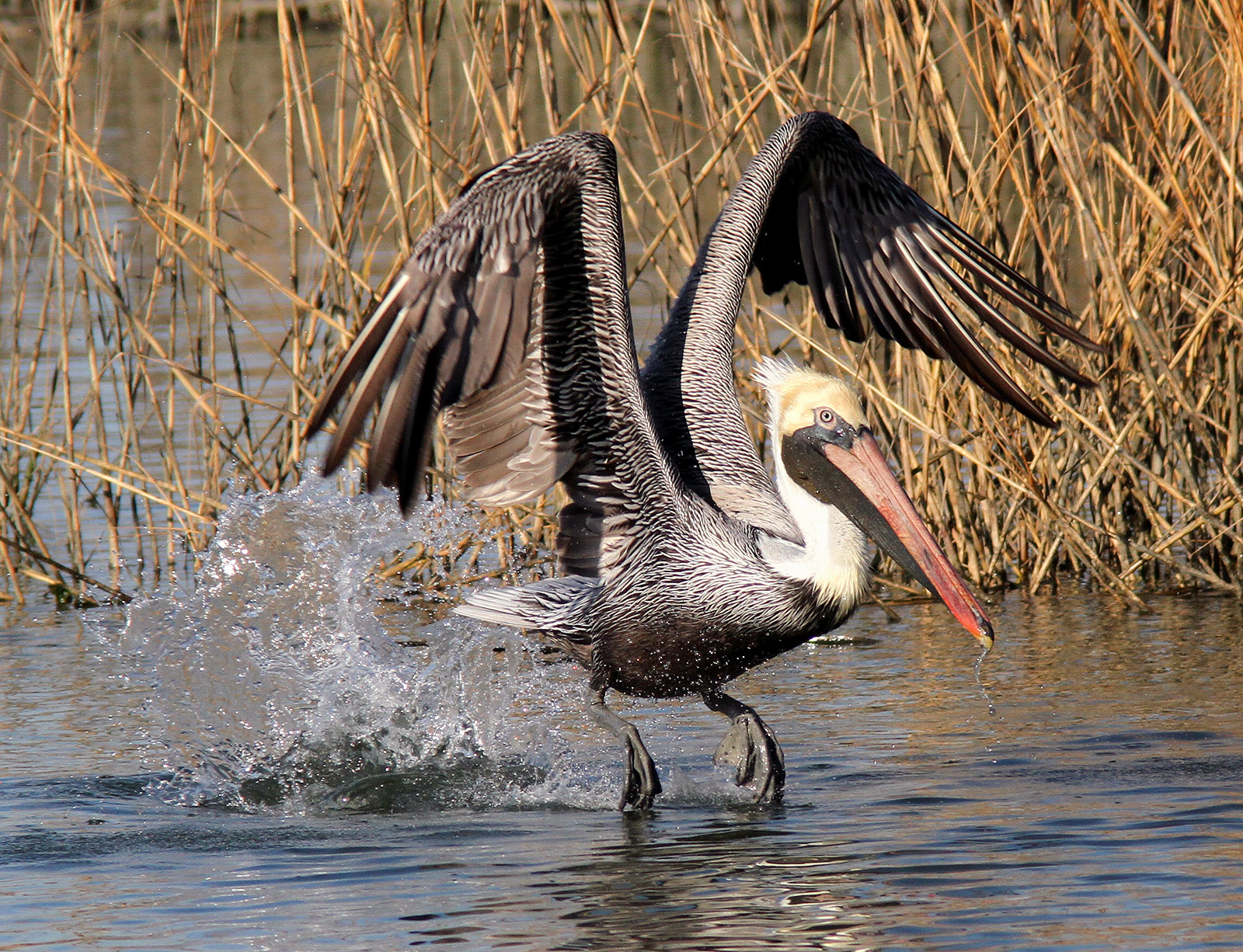 pelican lifting off from marsh in Louisiana