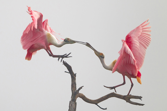 2 pink birds, roseate spoonbills, on a tree branch facing each other in a courting ritual.