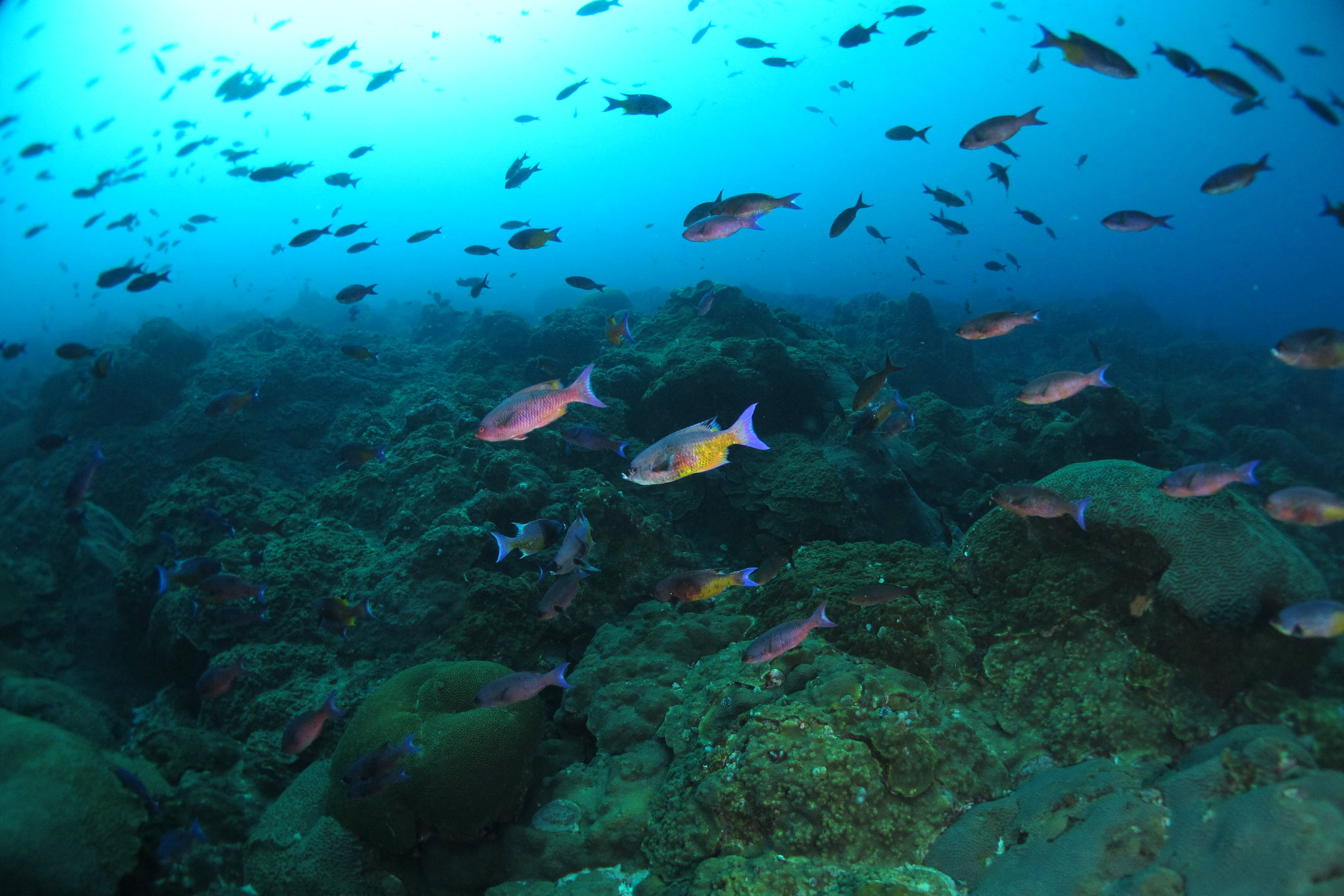 A school of creole wrasse (Clepticus parrae) swim along the reef. Location: Gulf of Mexico, Flower Garden Banks