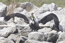 Queen Bess Island Welcomes Home Another Pelican That Persevered After Deepwater Horizon