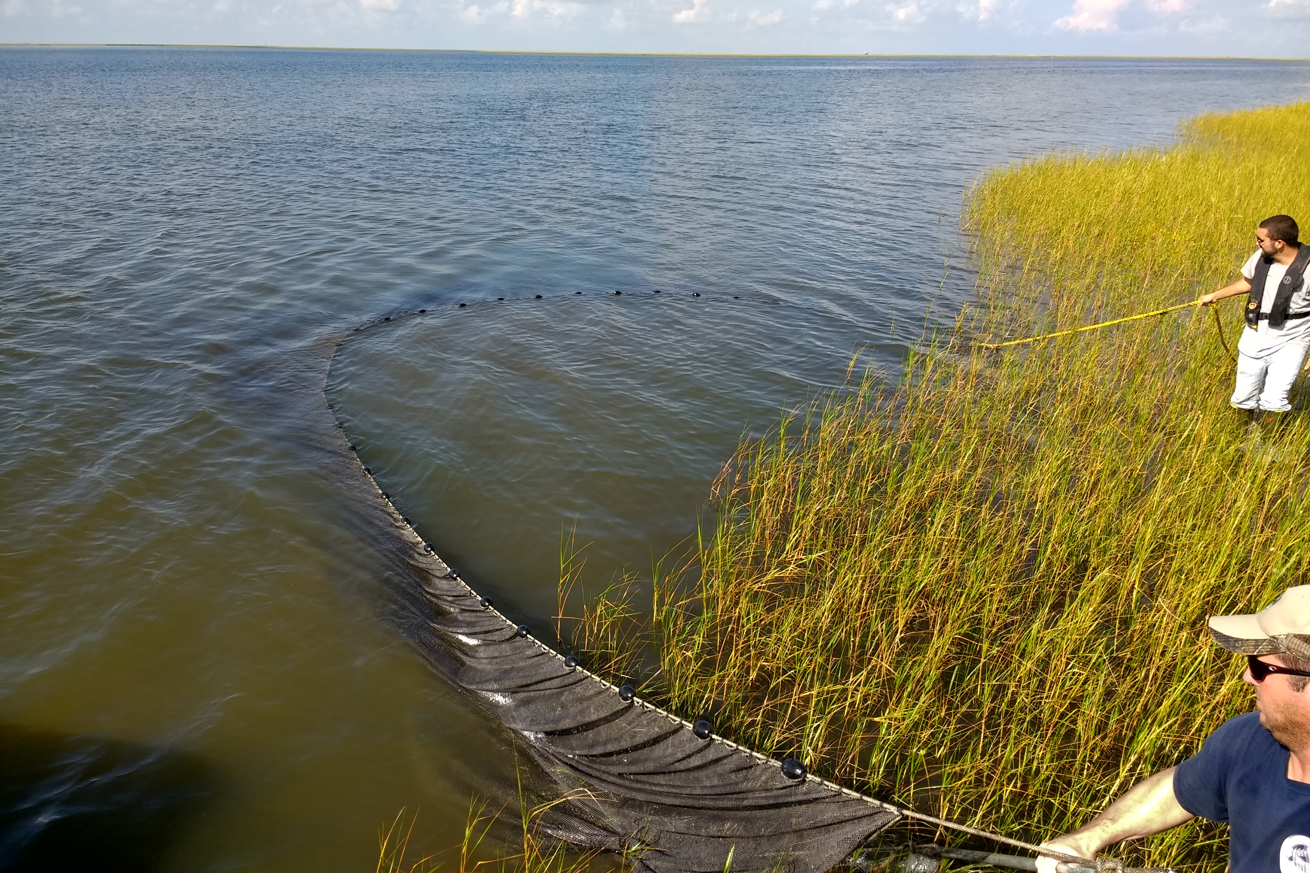 Researchers pull in a seine (net) off the edge of a marsh.