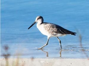 A beach combing bird runs along the water's edge.