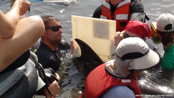 Measuring a Dolphin's Fin