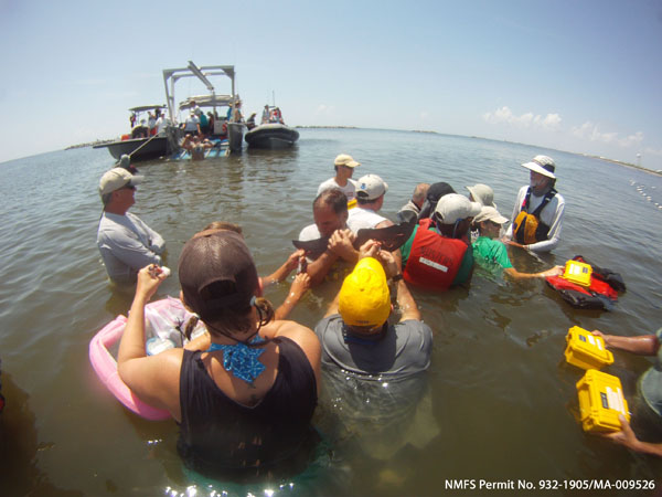Aug 2011: A Barataria Bay dolphin's tail is measured during NRDA health assessments.